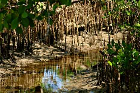 Swampy mangroves