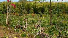 Yland Ylang trees, cut low for harvesting