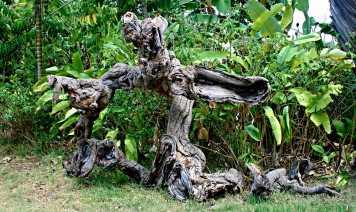 An older Ylang Ylang tree