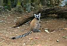 Lemurs (repeat for the rest)
